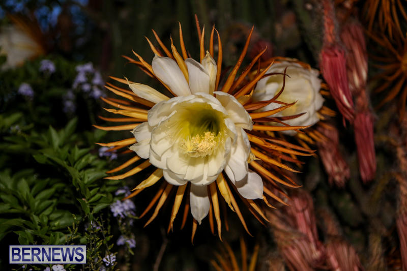 Night-Blooming-Cereus-Flowers-Bermuda-June-24-2015-14