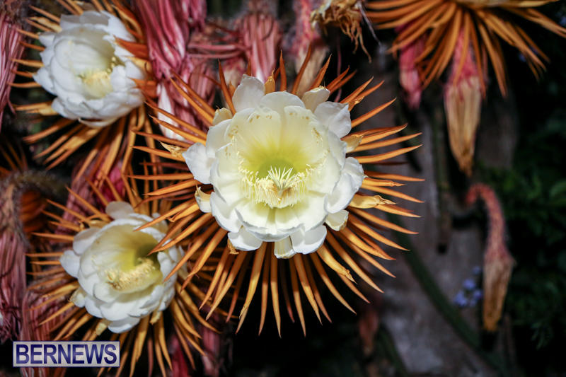 Night-Blooming-Cereus-Flowers-Bermuda-June-24-2015-18
