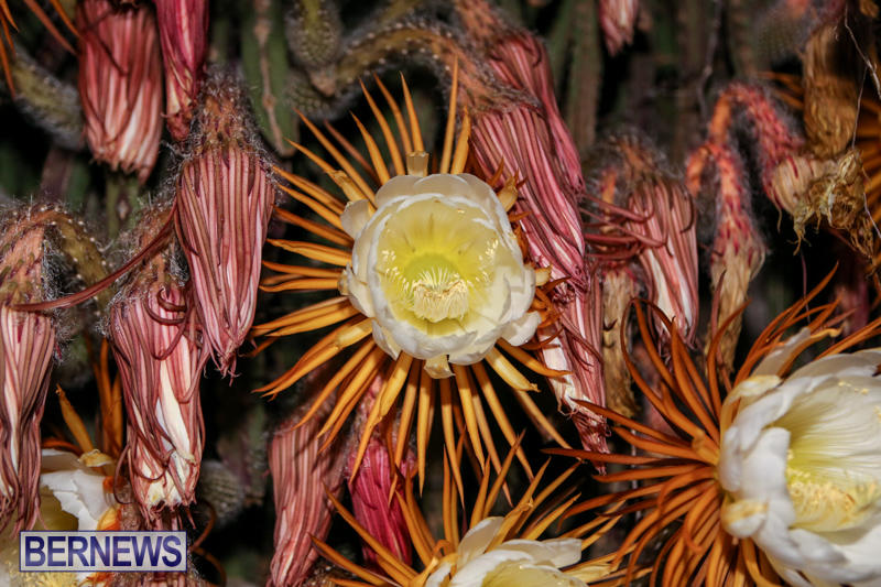 Night-Blooming-Cereus-Flowers-Bermuda-June-24-2015-21