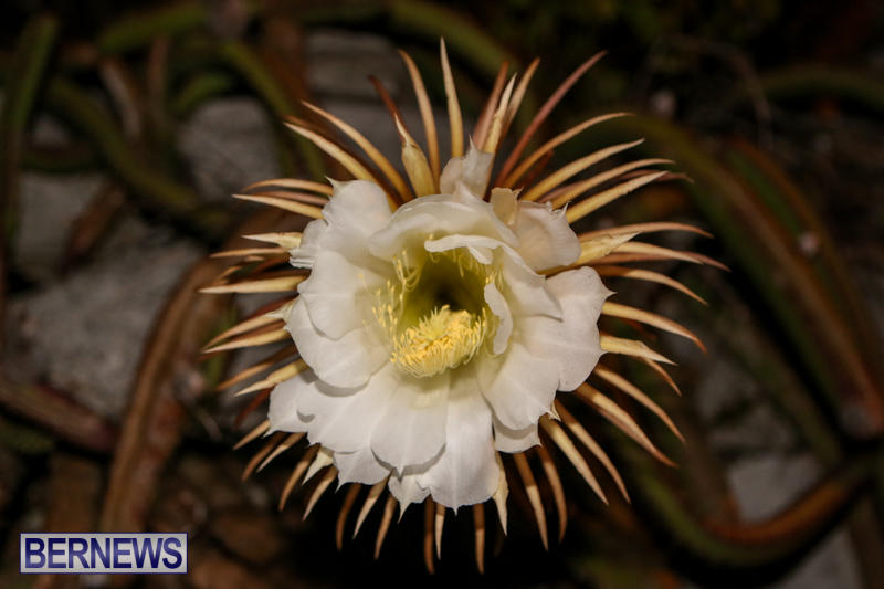 Night-Blooming-Cereus-Flowers-Bermuda-June-24-2015-22