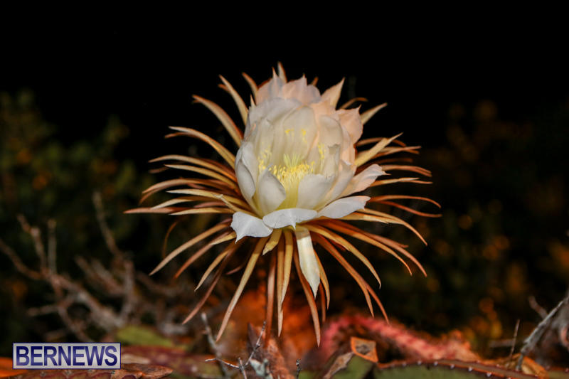 Night-Blooming-Cereus-Flowers-Bermuda-June-24-2015-25