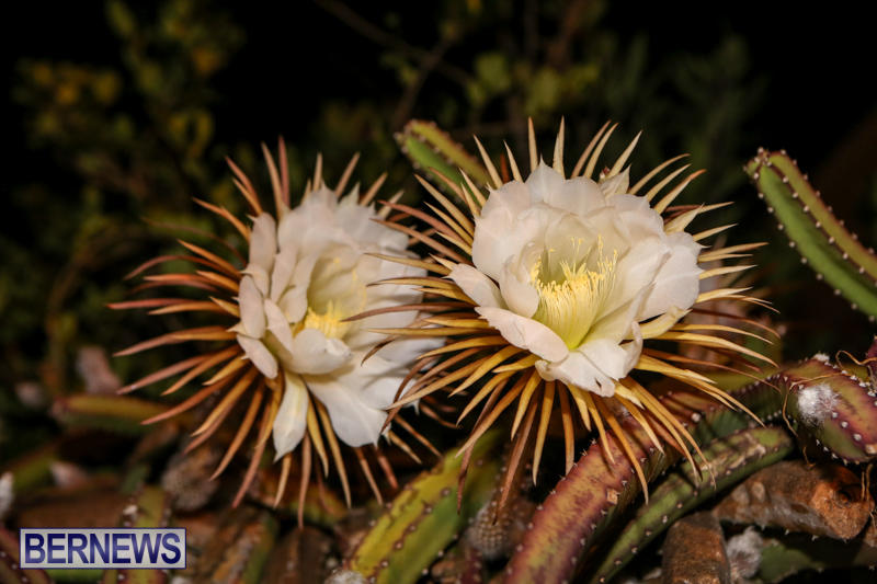 Night-Blooming-Cereus-Flowers-Bermuda-June-24-2015-26