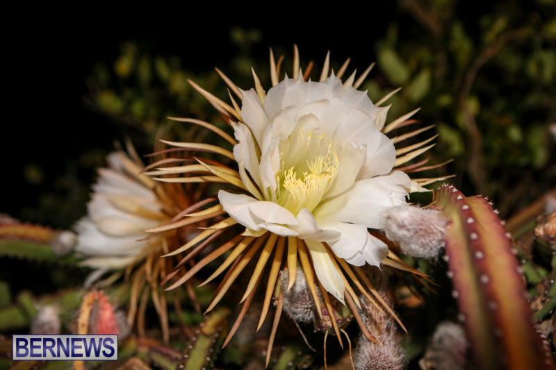 Night-Blooming-Cereus-Flowers-Bermuda-June-24-2015-27