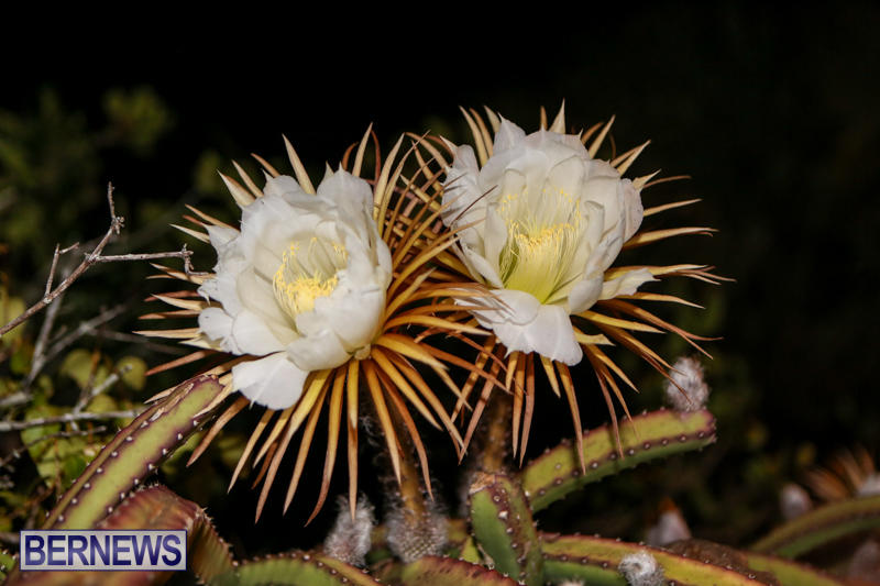Night-Blooming-Cereus-Flowers-Bermuda-June-24-2015-32