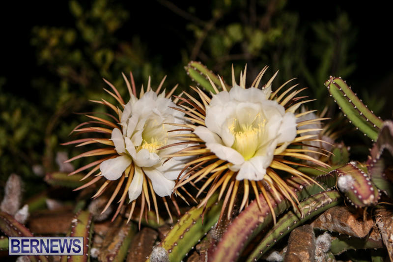 Night-Blooming-Cereus-Flowers-Bermuda-June-24-2015-33