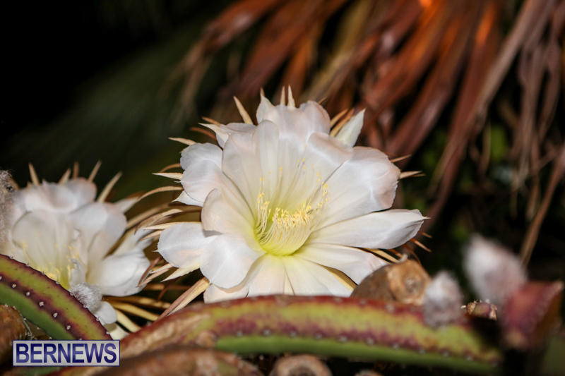 Night-Blooming-Cereus-Flowers-Bermuda-June-24-2015-34