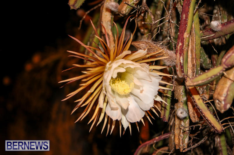 Night-Blooming-Cereus-Flowers-Bermuda-June-24-2015-35