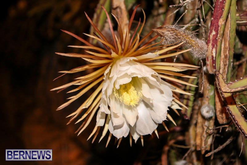 Night-Blooming-Cereus-Flowers-Bermuda-June-24-2015-37