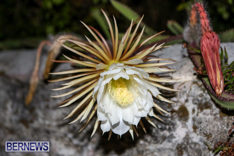 Night-Blooming-Cereus-Flowers-Bermuda-June-24-2015-39
