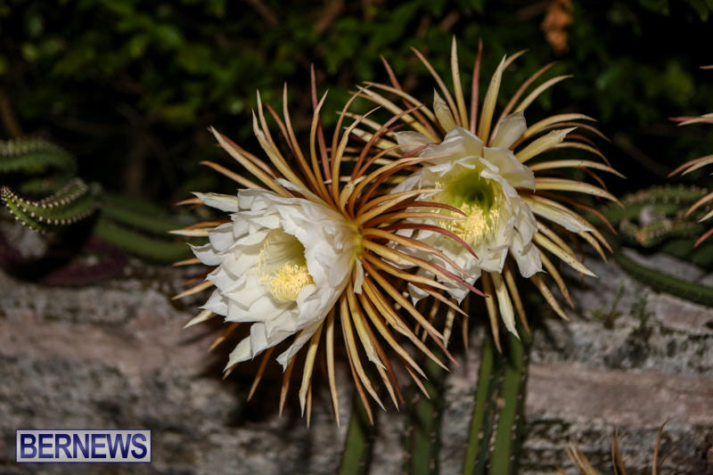 Night-Blooming-Cereus-Flowers-Bermuda-June-24-2015-44
