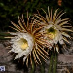 Night Blooming Cereus Flowers Bermuda, June 24 2015-49