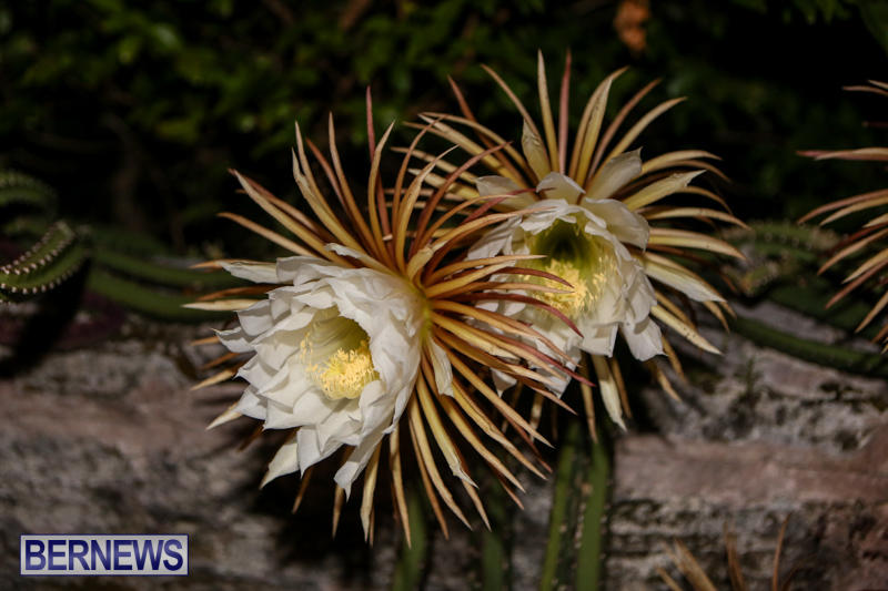 Night-Blooming-Cereus-Flowers-Bermuda-June-24-2015-49