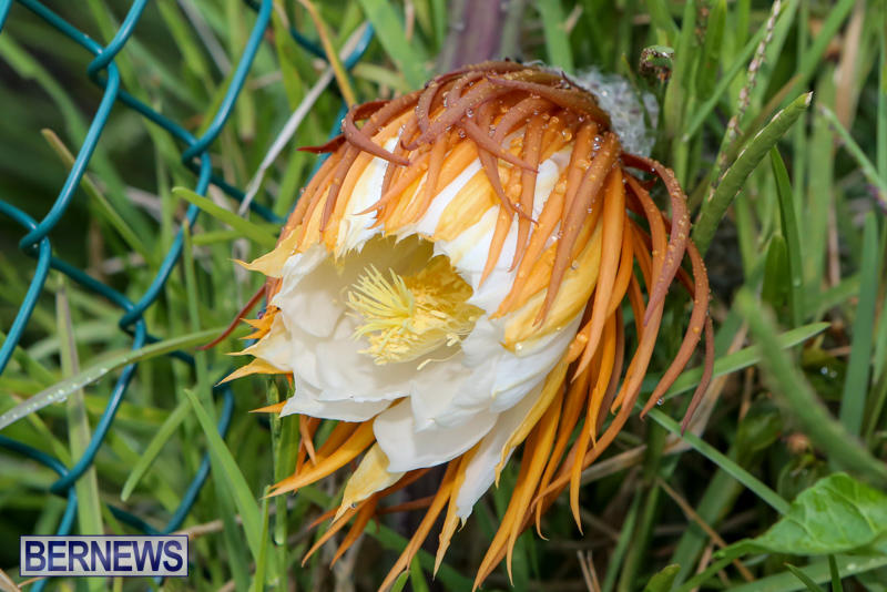 Night-Blooming-Cereus-Flowers-Bermuda-June-24-2015-6