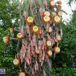 Night Blooming Cereus Flowers Bermuda, June 24 2015-9