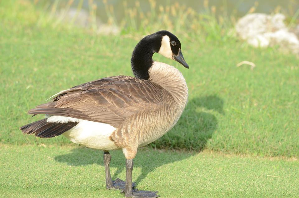 canada-goose-bermuda-june-2015-2