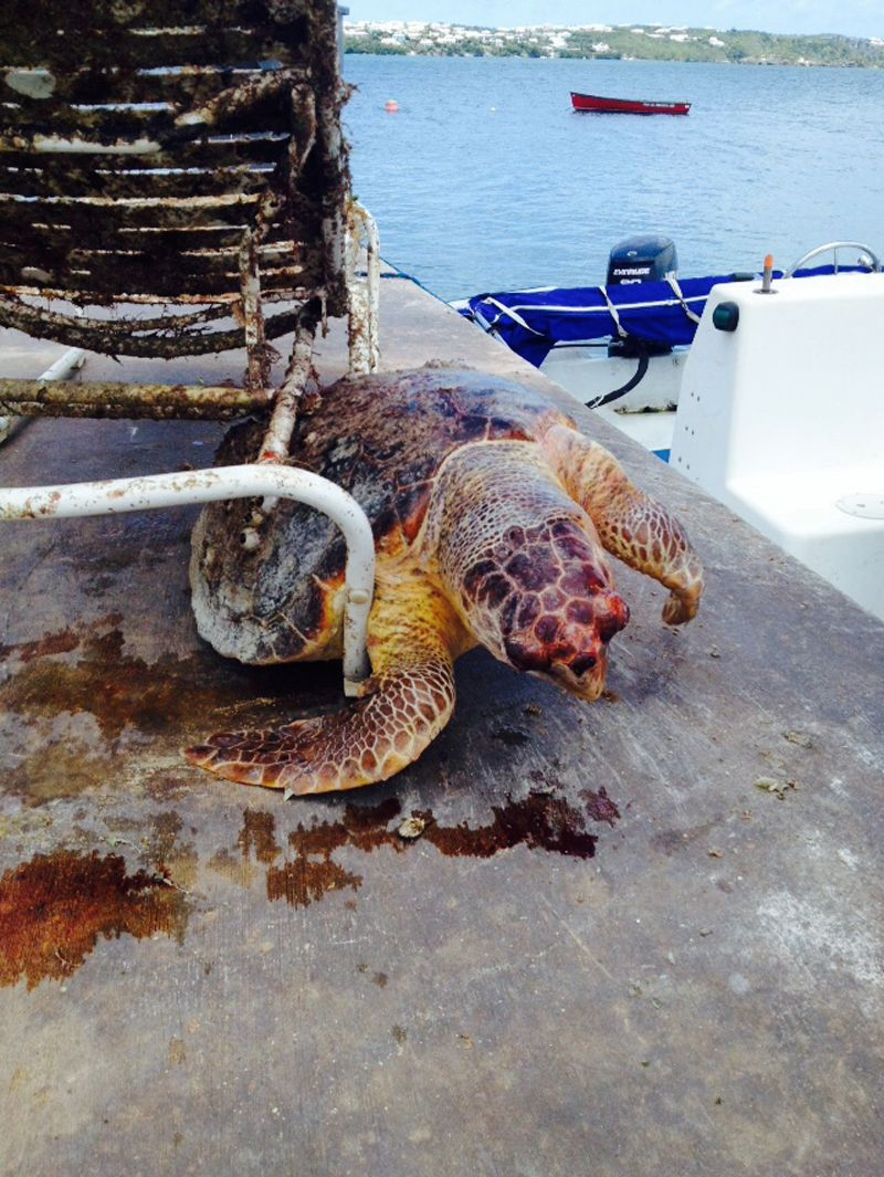 dead sea turtle june 25 2015 1