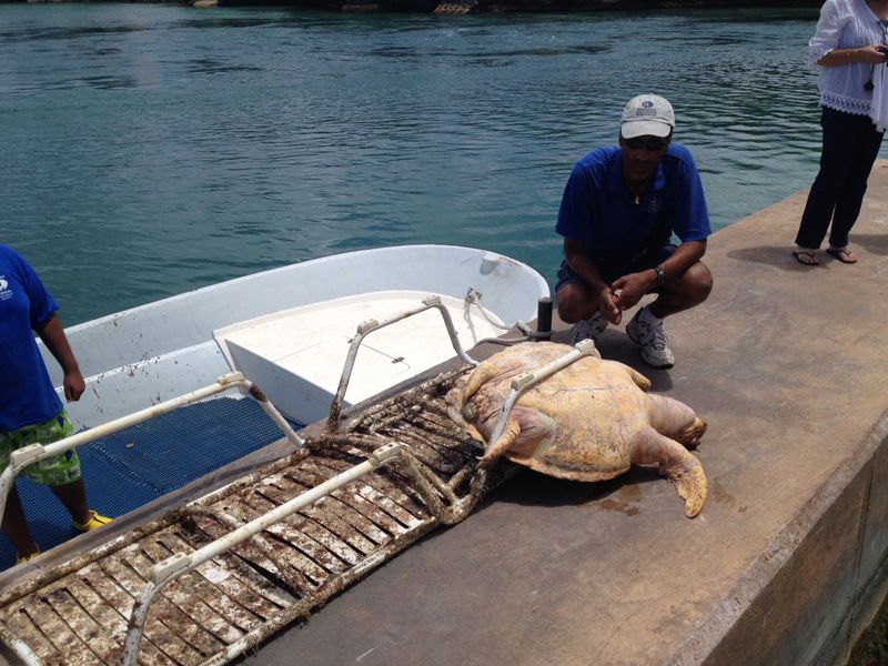 dead sea turtle june 25 2015 2