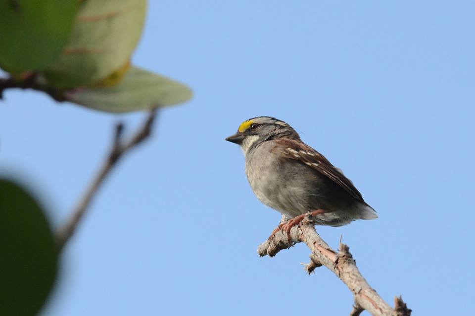 white-throated-sparrow-02