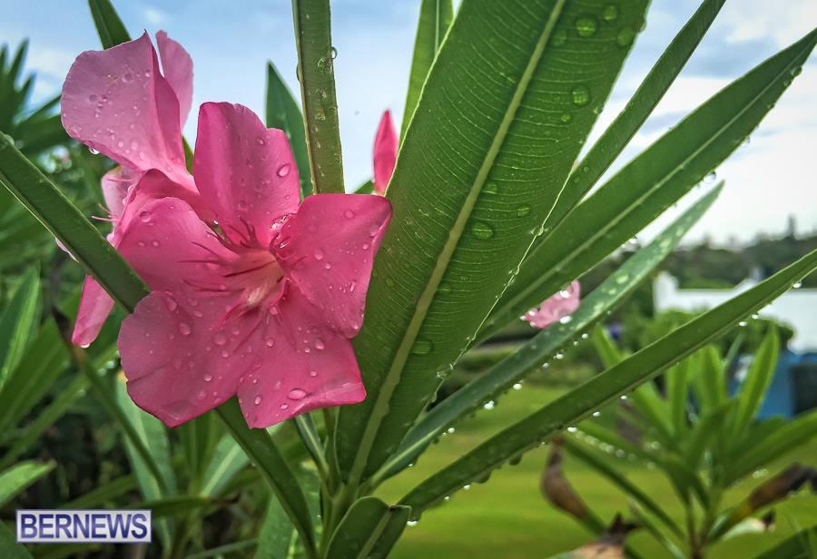 472 needed rain Bermuda Generic July 2015