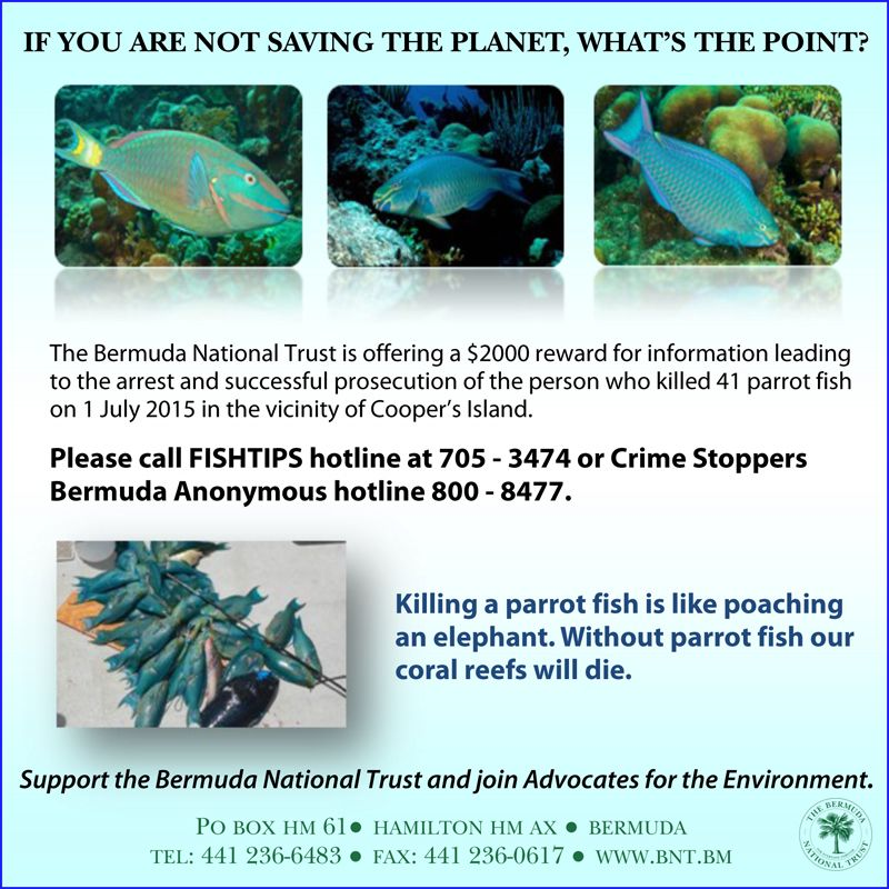 3000 reward parrotfish poaching information bernews for Parrot fish facts