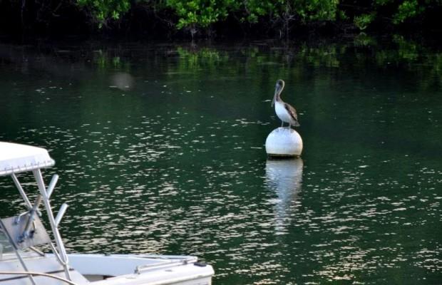 brown pelican bermuda 2015
