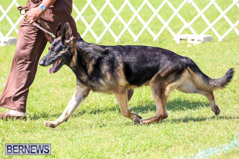 Dog-Show-Bermuda-October-24-2015-35