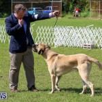 Dog Show Bermuda, October 24 2015-58