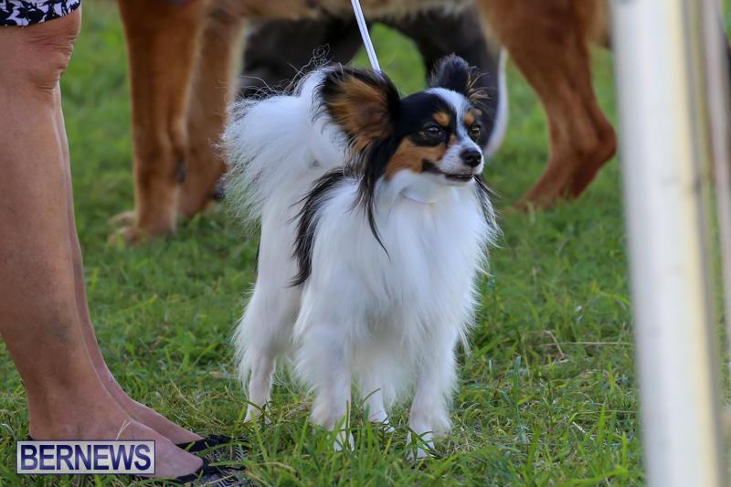Dog-Show-Bermuda-October-24-2015-61