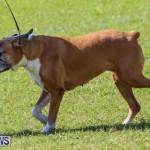 Dog Show Bermuda, October 24 2015-69