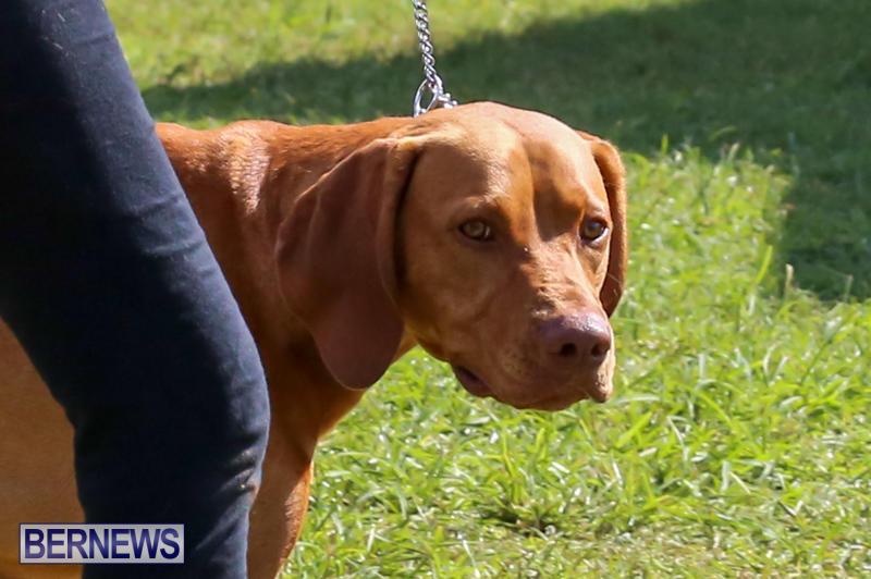Dog-Show-Bermuda-October-24-2015-75
