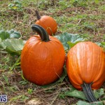J&J Produce Pick Your Own Pumpkins Bermuda, October 23 2015-17