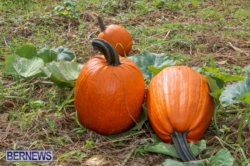 JJ-Produce-Pick-Your-Own-Pumpkins-Bermuda-October-23-2015-17