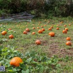 J&J Produce Pick Your Own Pumpkins Bermuda, October 23 2015-19