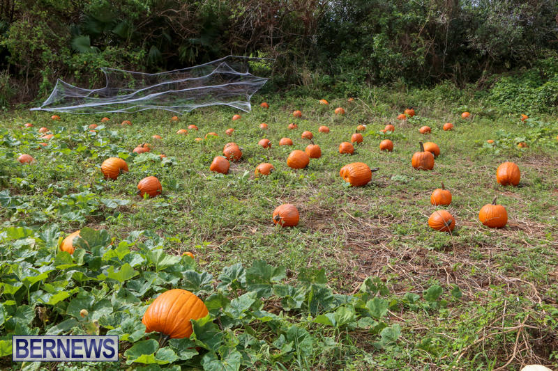 JJ-Produce-Pick-Your-Own-Pumpkins-Bermuda-October-23-2015-19