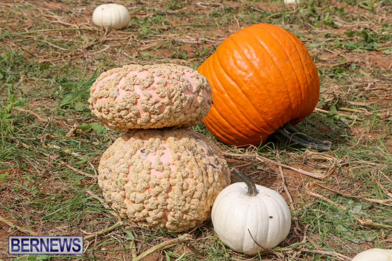 JJ-Produce-Pick-Your-Own-Pumpkins-Bermuda-October-23-2015-20