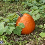 J&J Produce Pick Your Own Pumpkins Bermuda, October 23 2015-28