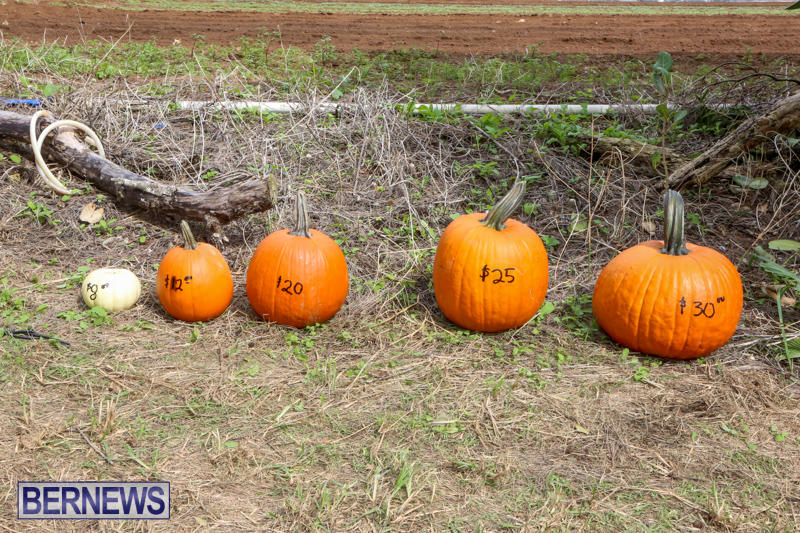 JJ-Produce-Pick-Your-Own-Pumpkins-Bermuda-October-23-2015-4