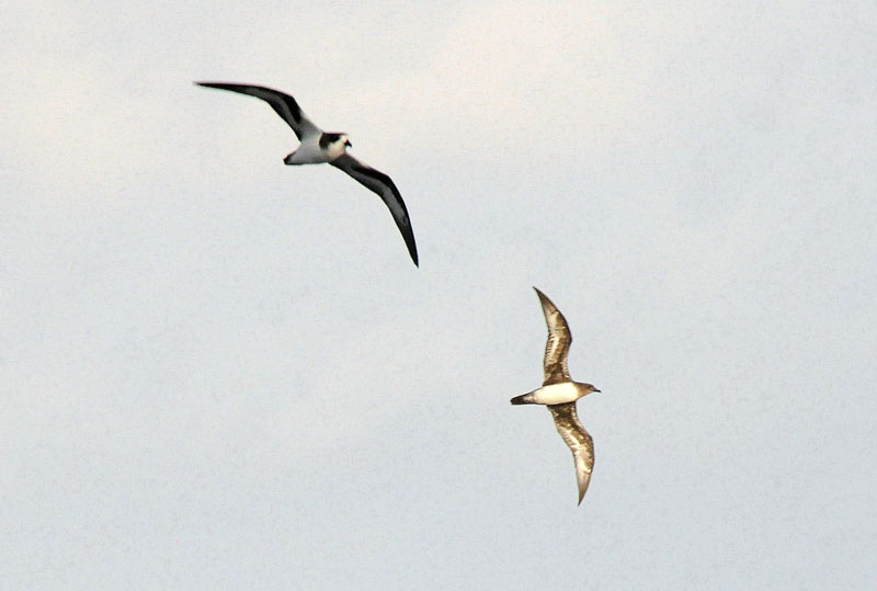 Cahow (left) and Trindade Petrel (right)