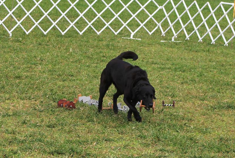 Dog Training Club Bermuda Nov 18 2015 2 (1)