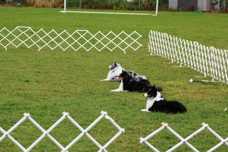 Dog Training Club Bermuda Nov 18 2015 2 (2)