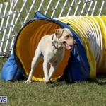 Dogs Agility Bermuda, November 7 2015-1