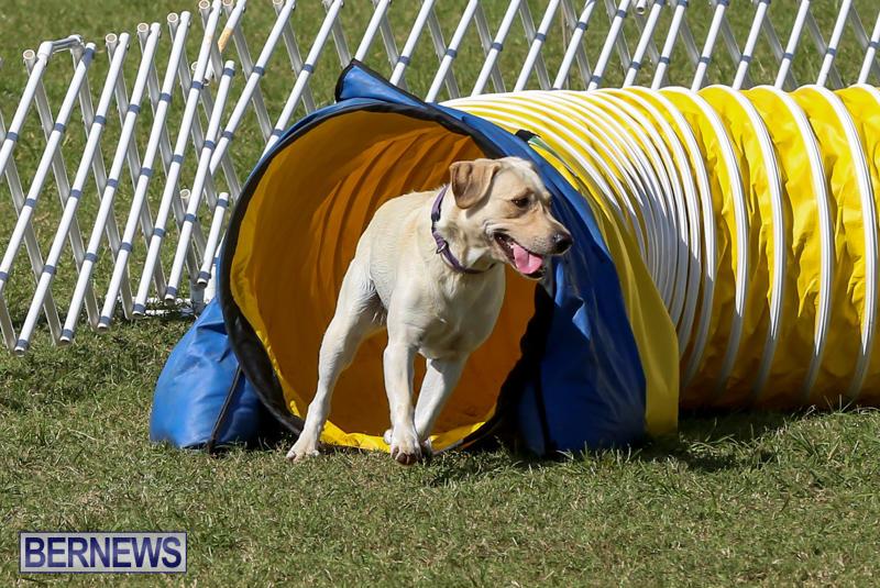Dogs-Agility-Bermuda-November-7-2015-1