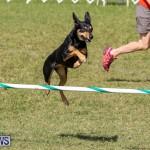 Dogs Agility Bermuda, November 7 2015-11