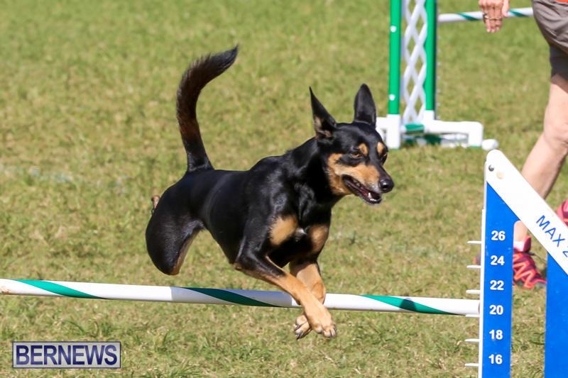 Dogs-Agility-Bermuda-November-7-2015-12