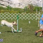 Dogs Agility Bermuda, November 7 2015-2