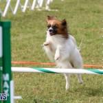 Dogs Agility Bermuda, November 7 2015-21