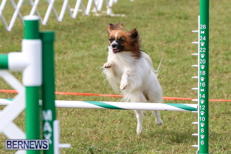 Dogs-Agility-Bermuda-November-7-2015-21