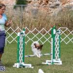Dogs Agility Bermuda, November 7 2015-22