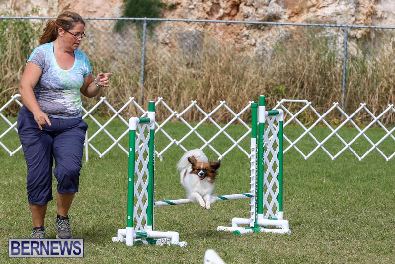 Dogs-Agility-Bermuda-November-7-2015-22