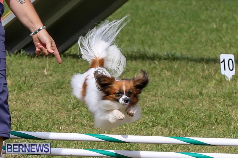Dogs-Agility-Bermuda-November-7-2015-23